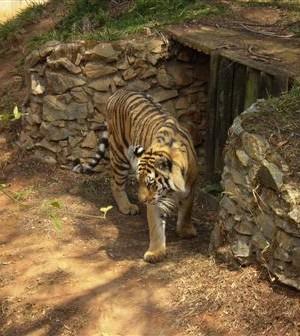 Tigre no Zoológico de Belo Horizonte - MG